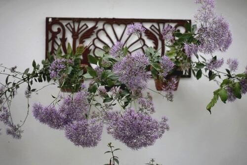 Des compagnes pour mes roses : Trachelium caeruleum
