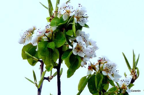 Les fleurs du poirier