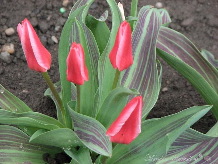 Mes tulipes naines