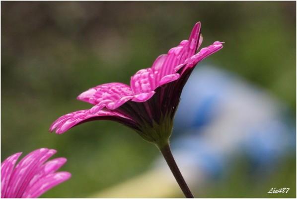 fleurs-3-2949-Osteospermum.jpg