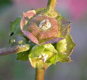 654px-Malva parviflora fruits 2003-01-24