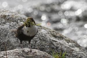 Le Cingle plongeur (en affût) - Janvier à Juin 2014