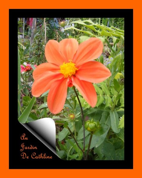 petit-dahlia-orange-2014.jpg