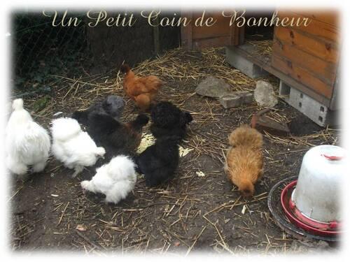 poules soies