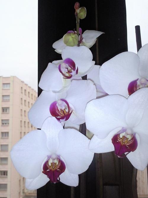 Ma premiere phalaenopsis