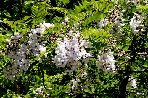 Les fleurs du robinier (faux acacia)