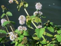Menthe aquatique (Mentha aquatica) : culture, entretien, semis