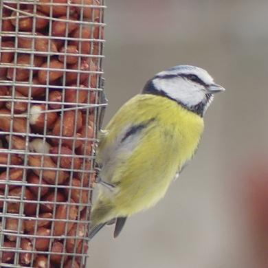 Comptage des oiseaux de jardin 2019...