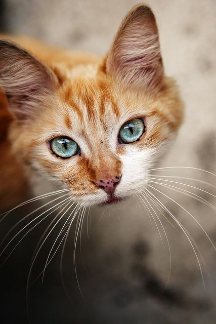 The eye color is stunning and the cat has red fur and freckel. How adorable?: