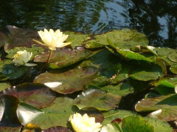 Giverny, le jardin d'eau 4
