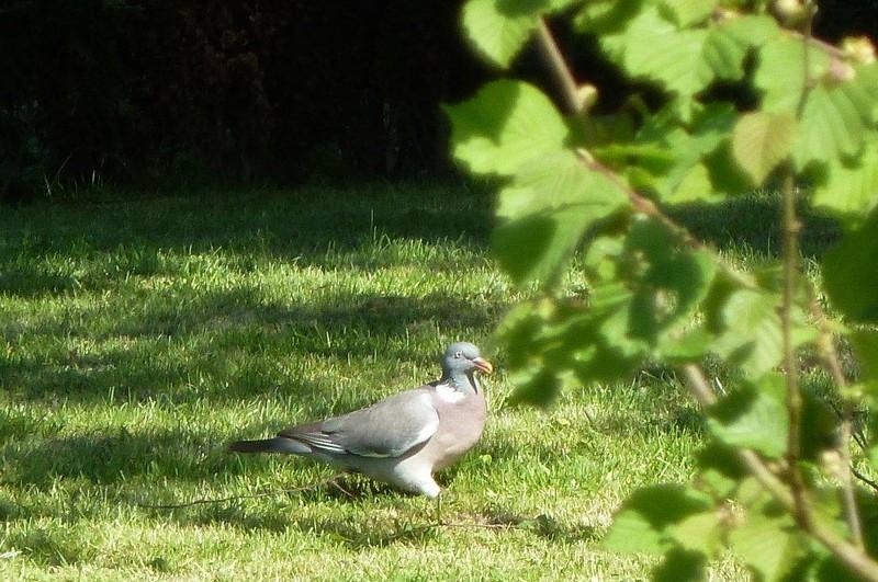 pigeon ramier ...