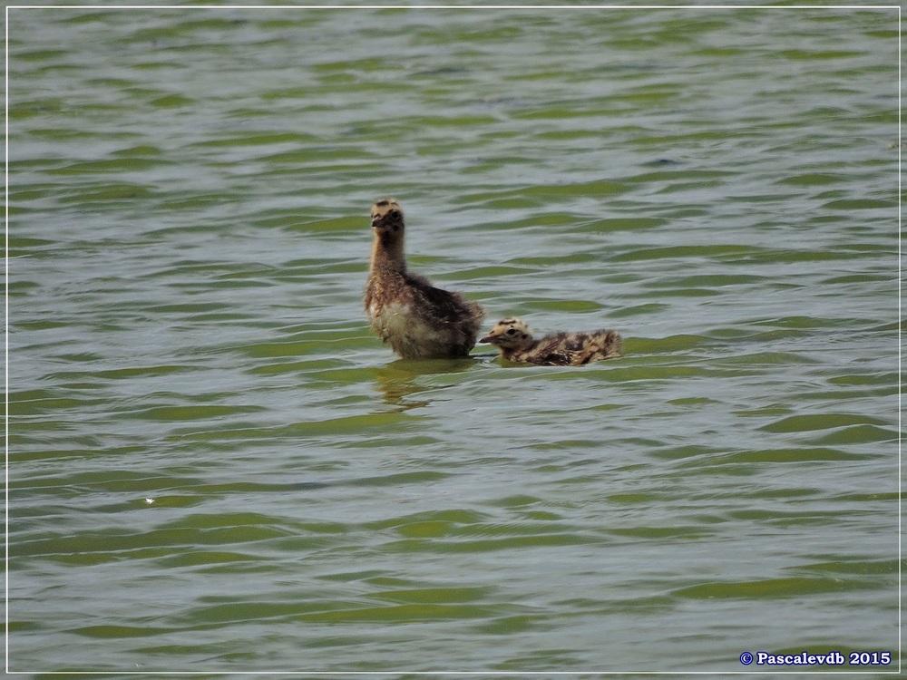 Retour à la Réserve ornitho du Teich - Mai 2015 - 4/9