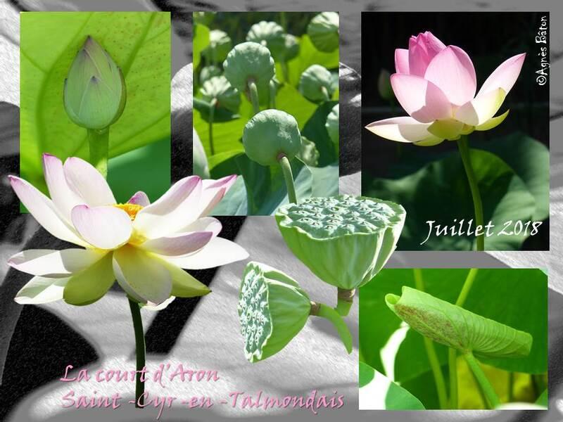 Les lotus de la court d'Aron