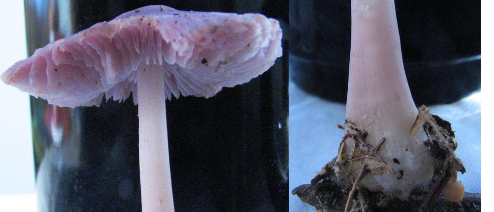 Mycologie/champignons toxiques/ Forêt de feuillus/Champagne