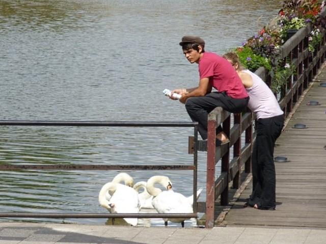 Metz les cygnes de la Moselle 4 été 2010