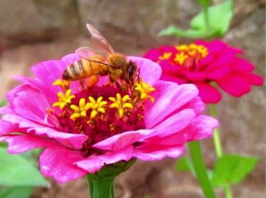 Dessin et peinture - vidéo 2031 : L'abeille qui butine sur la fleur - encre et aquarelle.