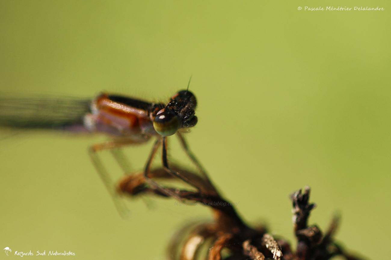 Ischnures élégantes (Ischnura elegans) - ♀ immature de type C