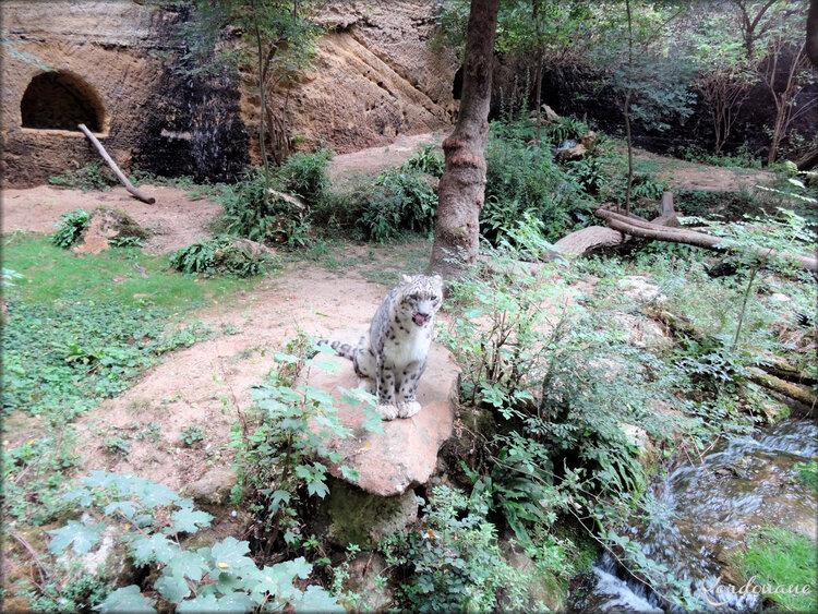 Panthère des neiges (Zoo de Doué la Fontaine)