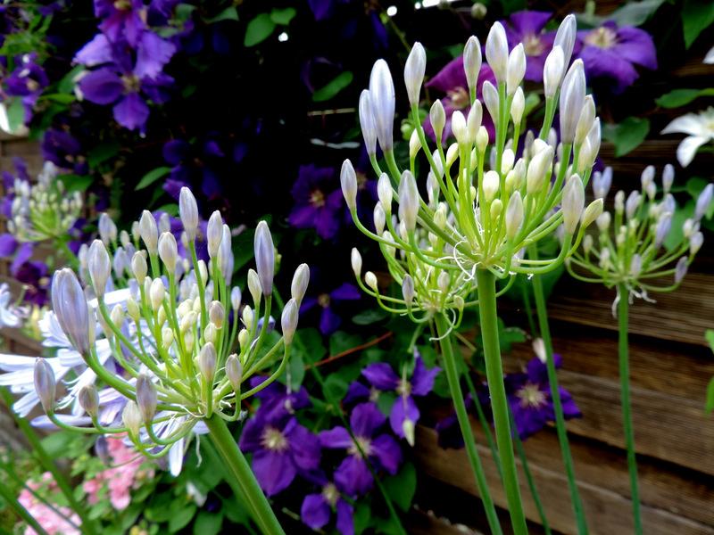 Abécédaire des fleurs d'été : Lettre A