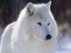 Les Loups ...