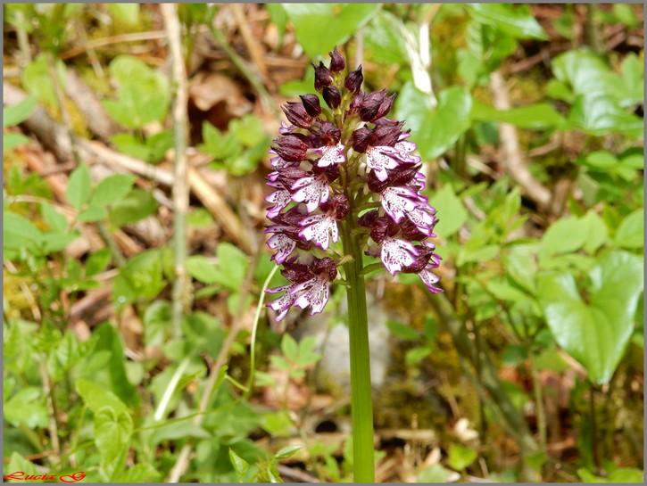 Orchidée....