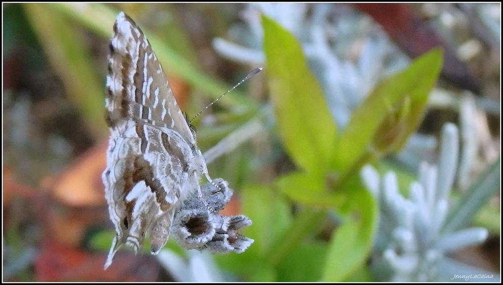 Le Brun des Pelargoniums - Cacyreus marshalli.