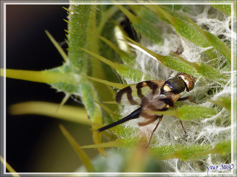 Mouche Tephritide femelle (Urophora sp, probable congrua) dans un Cirse laineux - Artiga de Lin - Es Bordes - Val d'Aran - Espagne