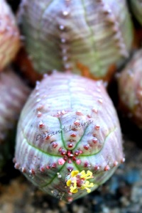 Euphorbia Infausta - 2013