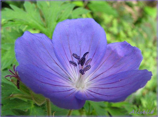 Geranium-vivace-bleu-violet-5.jpg