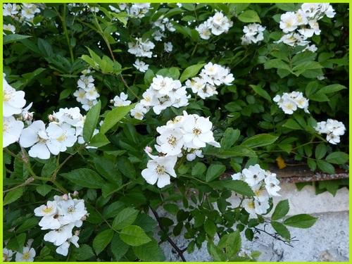 'Rosa Multiflora'
