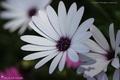 Fleurs à dominante blanche