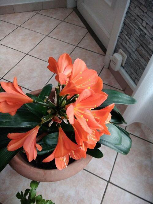 ma clivia , j'en ai trois, j'en ai deux qui fleurient trois fois par ans , elle sont manifique comme plante d'interieux
