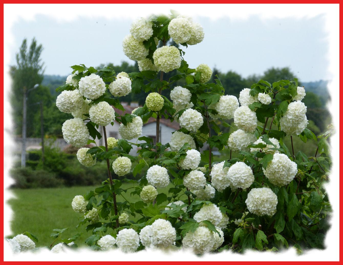 plante boule neige