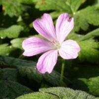 geranium endressii-copie-1