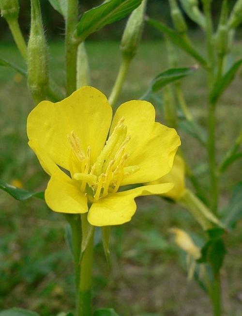 Fleurs cultivées : Oenothère