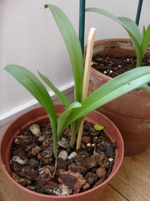 Ophrys Apifera, la suite!