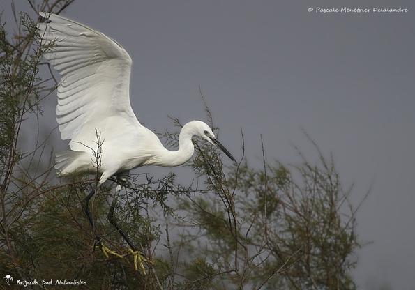 Aigrette garzette - Même pour un oiseau, l'équilibre n'est pas toujours une mince affaire !