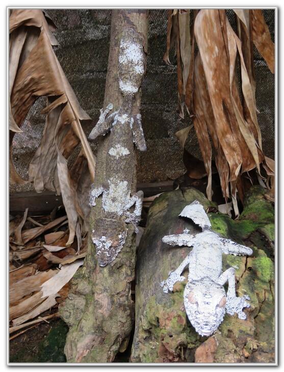PHASMES ET CAMELEONS A MADAGASCAR  2016