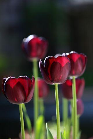 Tulipes 2020 : Queen of Night
