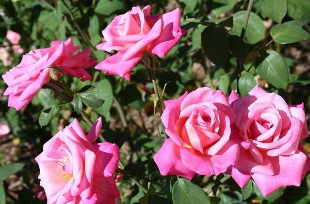 Les Roses de Warren : Carmenta