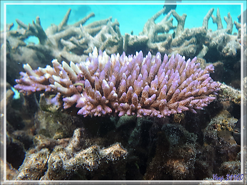 Taches de couleurs dans la grisaille corallienne - Snorkeling à Moofushi - Atoll d'Ari - Maldives