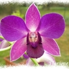 Dendrobium_violet_2014_03