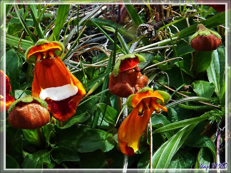 Pantoufle de Darwin, Zapatito de la Virgen, Sand Lady's Slipper (Calceolaria uniflora darwinii) - Parque Torres del Paine - Patagonie - Chili