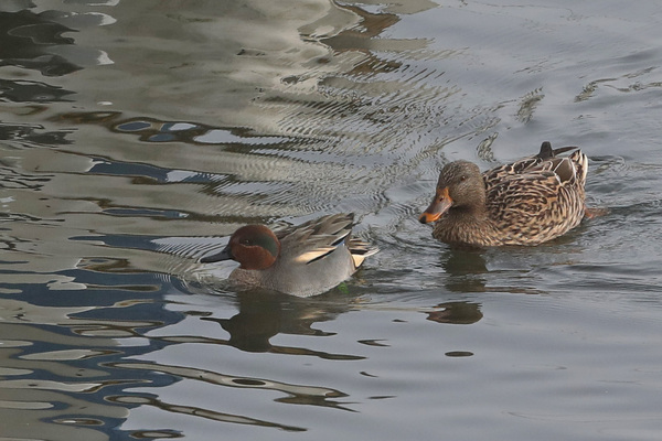 Canards et Goélands à Saint-Valery