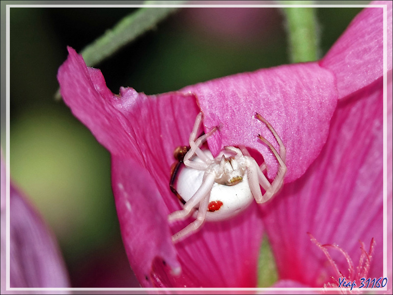 Monsieur et Madame Araignée crabe Thomise variable (Misumena vatia) post copula - Lartigau - Milhas - 31