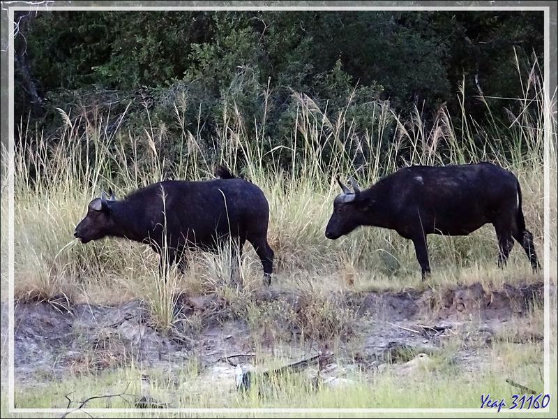 Buffle noir, African buffalo (Syncerus caffer) - Fleuve Zambèze - Zimbabwe