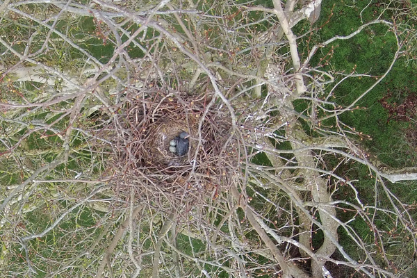 Nid corbeau freux