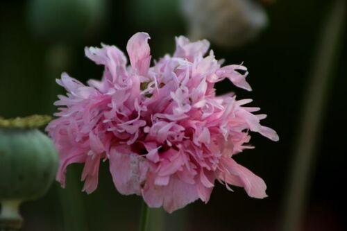 Des compagnes pour mes roses : Papaver somniferum