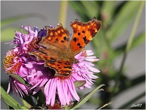 Papillons-2-3036-Robert-le-diable.jpg