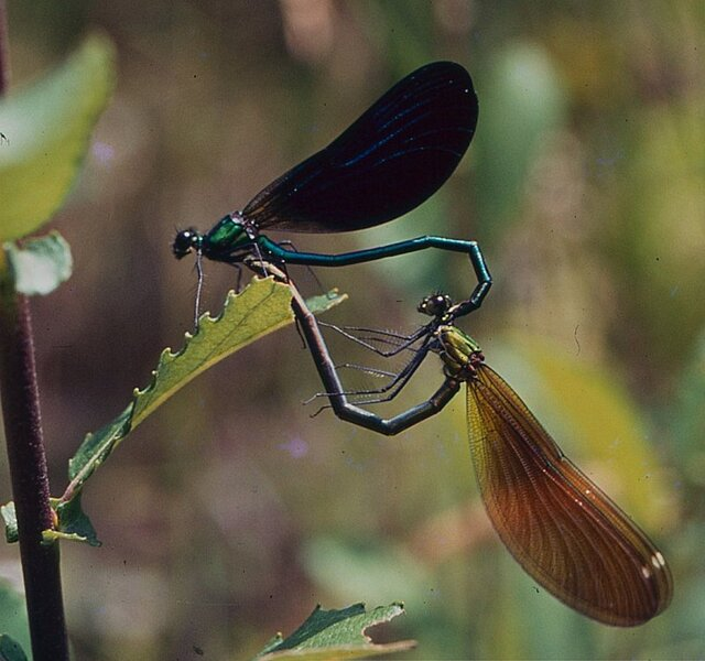 calopteryx-virgo-couple.jpg